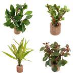 (水草)ライフマルチ(茶) おまかせ赤系水草 3種(水上葉)(無農薬)(3個)
