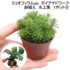 (水草)ミリオフィラムsp.(ガイアナドワーフ)鉢植え(水上葉)(1ポット分) +ライフマルチ(茶) アヌビアスナナ(1個)