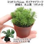 (水草)ミリオフィラムsp.(ガイアナドワーフ) 鉢植え(水上葉)(1ポット分) +マルチリングブラック(黒) アヌビアスナナ