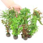 (水草)置くだけ簡単 マルチリングブラック(黒)おまかせ有茎草10種計10個(水上葉)+マルチリングブラック(黒)アヌビアスナナ