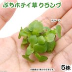 (水草)ぷちホテイ草(無農薬)(5株) 金魚 メダカ 北海道航空便要保温