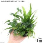 (水草)ハニカムシェルター 寄せ植えミックス Ver.ミクロ&アヌビアス(1個) 北海道航空便要保温