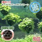 (水草)巻きたて オーストラリアン ノチドメ バルーン(無農薬)(2個) +おもり1個