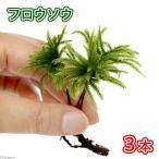 (観葉植物/苔)フロウソウ(無農薬)(3本)