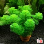 (水草)メダカ・金魚藻 カボンバ ミニ素焼き鉢(1個) 北海道航空便要保温