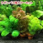 (水草)メダカ・金魚藻 カボンバ3種カラーセット ミニ素焼き鉢(各1個/計3個)