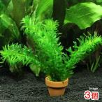 (水草)メダカ・金魚藻 国産 無農薬アナカリス ミニ素焼き鉢(3鉢) 北海道航空便要保温