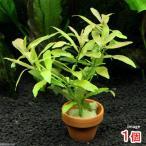 (水草)ハイグロフィラ ポリスペルマ ミニ素焼き鉢(水中葉)(無農薬)(1鉢)