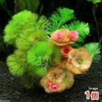 (水草 熱帯魚)メダカ・金魚藻 カボンバミックス ミニ素焼き鉢(1個)