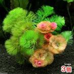 (水草)メダカ・金魚藻 カボンバミックス ミニ素焼き鉢(3個)
