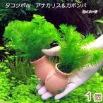 (水草)メダカ・金魚藻 タコツボW アナカリス&カボンバ(1個)