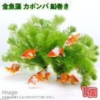 (水草)メダカ・金魚藻 カボンバ 鉛巻き(7〜10本)(1個) 北海道航空便要保温