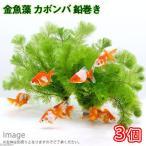 (水草)メダカ・金魚藻 カボンバ 鉛巻き(7〜10本)(3個)
