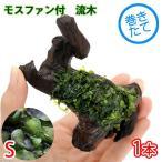 (水草)巻きたて モスファン付 流木 Sサイズ(7〜12cm)(無農薬)(1本)