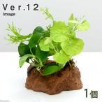 (水草)Plants Arrangement ザ ボンサイ Ver.12(1個) 北海道航空便要保温