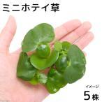 (水草)ミニホテイ草(無農薬)(5株) 金魚 メダカ 北海道航空便要保温