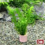 (水草)メダカ・金魚藻 国産 ライフマルチ(茶) 無農薬アナカリス(3個)