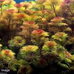(水草)メダカ・金魚藻 レッドカボンバ(10本)