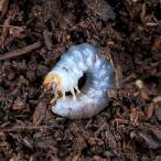 (昆虫)国産ミヤマクワガタ 産地不明 幼虫(初〜2令)(1匹) 北海道航空便要保温