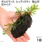(水草)ボルビティス ヒュディロティ 風山石 Sサイズ(1個)