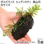 (水草)ボルビティス ヒュディロティ 風山石 Sサイズ(5個)