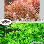 (水草)グリーンロタラ(5)+ロタラ ロトンディフォリア コロラタ(5) 北海道航空便要保温