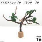 (水草)アヌビアスナナ プチ ブランチプチ(無農薬)(1本)〜水辺工房〜