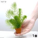 (水草)プチ素焼き鉢 金魚藻ミックス(水中葉)(1個) 北海道航空便要保温
