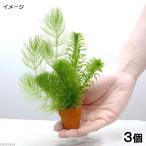 (水草)プチ素焼き鉢 金魚藻ミックス(水中葉)(3個)