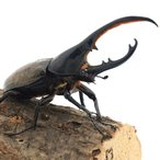 (昆虫)ヘラクレスエクアトリアヌス エクアドル産 幼虫(初〜2令)(1匹) ヘラクレスオオカブトムシ 北海道航空便要保温