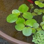 (ビオトープ)水辺植物 アマゾンフロッグビット(無農薬)(3株)