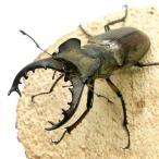 (昆虫)国産ミヤマクワガタ(エゾ型) 北海道産 成虫(WD)68〜69mm(1ペア)