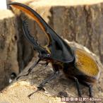 (昆虫)ヘラクレス・モリシマイ ボリビア産 幼虫(3令)(1ペア) ヘラクレスオオカブトムシ 北海道・九州航空便要保温