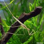 (昆虫)ミズカマキリ(1匹) 北海道航空便要保温