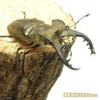 (昆虫)国産ミヤマクワガタ 成虫(WD)65〜67mm(1ペア)