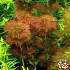 (水草)オレンジアンブリア ラオス産(無農薬)(1本) 北海道航空便要保温