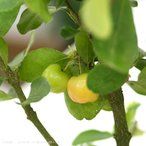 (観葉)果樹苗 アセロラ 5号(1鉢) 家庭菜園