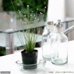 (ビオトープ)水辺植物 シラタマホシクサ(白玉星草) 4号(1ポット) (休眠株)