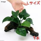 (水草)アヌビアス バルテリー バタフライ 付流木 Lサイズ(1本) 北海道航空便要保温