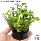 (水草)ハニカムシェルター 寄せ植えミックス Ver.バコパ(水上葉)(無農薬)(1個) 北海道航空便要保温