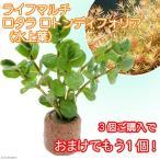 (水草)ライフマルチ(茶) ロタラ ロトンディフォリア(水上葉)(3個)+おまけ1個