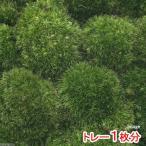 (観葉/苔)ホソバオキナゴケ(トレー1枚分)
