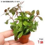 (水草)プチ素焼き鉢 ルドウィジアミックス(水上葉)(無農薬)(1鉢)