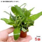 (水草)プチ素焼き鉢 リムノフィラミックス(水上葉)(無農薬)(5鉢) 北海道航空便要保温