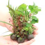(水草)置くだけ簡単 マルチリングブラック(黒) おまかせ有茎草3種3個+Cry.パルヴァ3個(計6個)(水上葉)