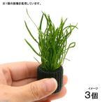 (水草)マルチリングブラック(黒) コブラグラス モーリシャス(水上葉)(無農薬)(3個)