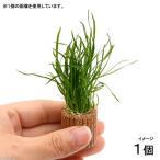 (水草)ライフマルチ(茶) コブラグラス モーリシャス(水上葉)(無農薬)(1個)