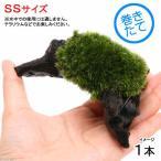 (観葉/苔)テラ向け ホソバオキナゴケ付流木 SSサイズ(約10cm)(1本)