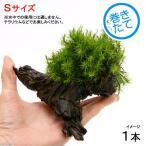 (観葉/苔)テラ向け シッポゴケ付流木 Sサイズ(約15cm)(1本)
