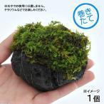 (観葉/苔)テラ向け シノブゴケ付溶岩石 Sサイズ(約8〜10cm)(1個)
